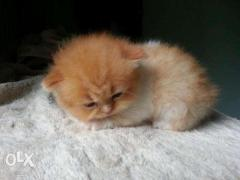 O best price Persian cat kitten for sale CASH ON DELIVERY